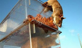 """** FILE ** For 10 years, a group of researchers have been training a species of giant African rats to sniff out land mines and unexploded ordnance. """"When people see they can use these animals for humanitarian purposes, it changes their perception,"""" said Bart Weetjens, whose nonprofit group, Apopo, has pioneered the use of the African or Gambian giant pouched rat in mine detection."""
