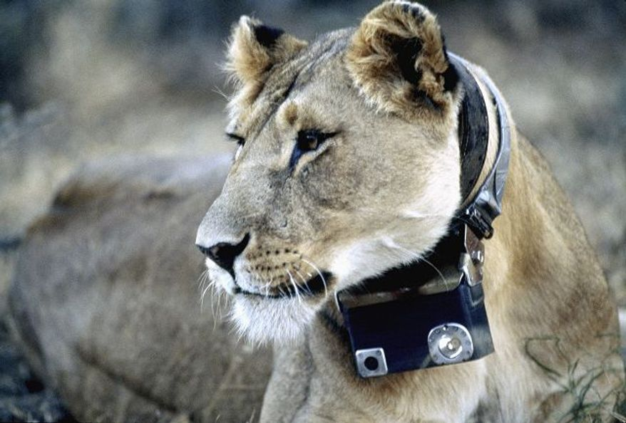 """National Geographic photographs An African lioness wears a camera around her neck in the exhibit """"National Geographic Crittercam: The World Through Animal Eyes."""" Visitors can press buttons to see clips of the lions and other animals."""