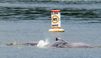 ** FILE ** Dolphins swim in the Navesink River, near the Shrewsbury, in Sea Bright, N.J., on June 24, 2008. (Associated Press)