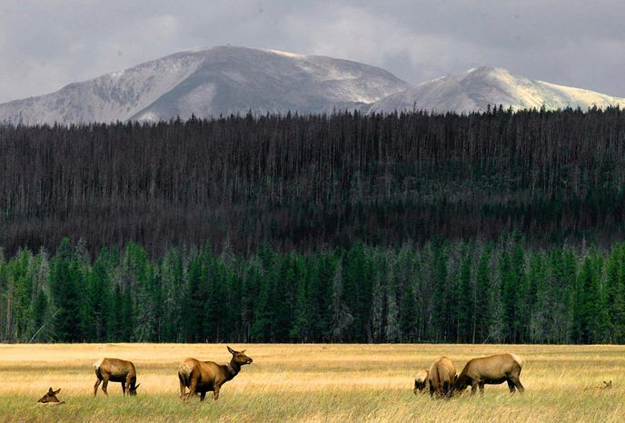 A herd of elk, the target of a livestock disease elimination program, graze in Yellowstone National Park. (Associated Press)