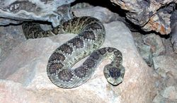 In the Sonoran Desert, rattlesnakes are fairly common; this captive snake was held in a special enclosure.