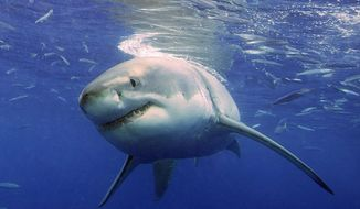 A great white shark cruises underwater in search of prey off Guadalupe, Mexico. A new study shows that great whites stalk specific victims and learn from their experiences. (Associated Press) ** FILE **