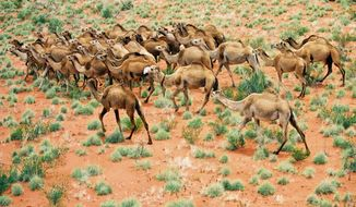 DESERT KNOWLEDGE COOPERATIVE RESEARCH CENTER More than 1 million camels roam freely across Australia, covering about one third of the continent. A proposed cull would destroy 400,000 feral camels in the next two years.