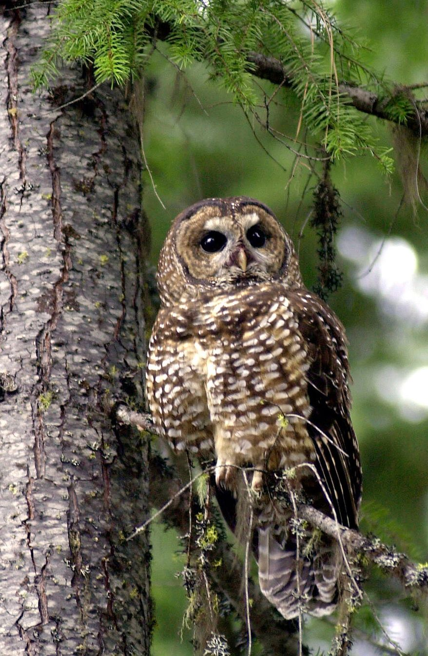 ** FILE ** A northern spotted owl sits on a tree in the Deschutes National Forest in Oregon in this 2003 photo. The Obama administration is withdrawing the Bush administration's last attempt at increasing logging in Northwest forests occupied by northern spotted owls and salmon. Assistant Interior Secretary Ned Farquhar told a conference call of attorneys on Thursday, July 16, 2009, that they had determined the U.S. Bureau of Land Management's decision not to consult federal biologists over the logging's effects on spotted owls and salmon violated the Endangered Species Act. (AP Photo/File)