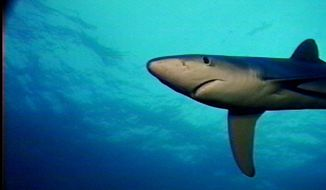 This is an image of a shark taken from a video shot off the coast of Catalina Island near Los Angeles Nov. 20, 1996, during a demonstration of a device to repel sharks, the Shark POD. The device is designed to exploit sharks' unique sensitivity to electrical fields and can envelop the diver in a 12-volt protective field for up to 90 minutes. (AP Photo/Yehuda Goldman)