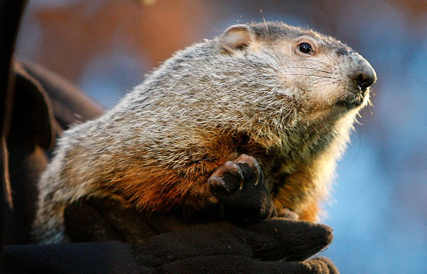 Punxsutawney Phil after emerging from his burrow on Gobblers Knob in Punxsutawney, Pa., to see his shadow and forecast six more weeks of winter weather Tuesday, Feb. 2, 2010.  (AP Photo/Gene J. Puskar)