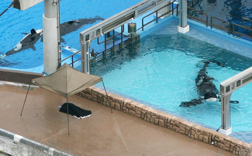 ** FILE ** Three killer whales swim in tanks at the SeaWorld park in Orlando, Fla., on Wednesday, Feb. 24, 2010. Earlier in the day, an orca killed a trainer who slipped or fell in its tank, drowning her in front of an audience. (AP Photo/Orlando Sentinel, Red Huber)