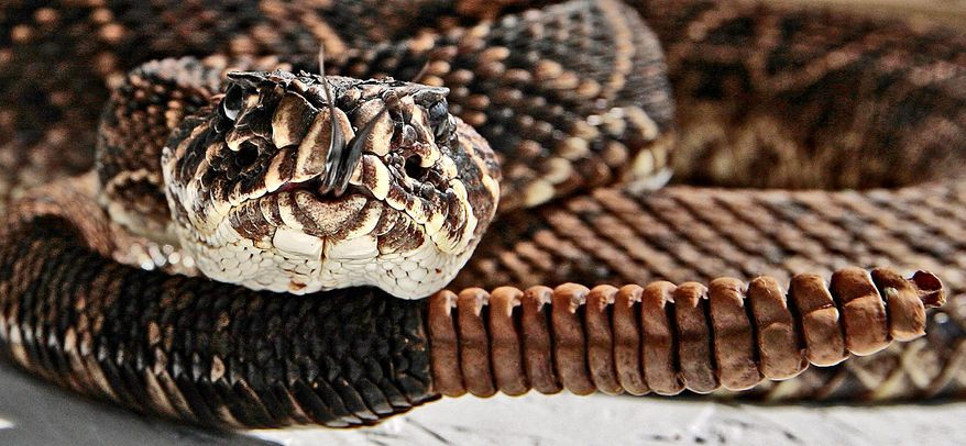 An Eastern diamond back rattlesnake coils itself to strike during the Opp Rattlesnake Rodeo. Reptile researchers say populations of the snake species are declining to dangerously low levels. (Associated Press)