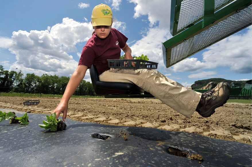 Celina Fernandes of Brazil plants maxixe on a transplanter at the University of Massachusetts' Agronomy Farm in South Deerfield, Mass. As customers become more familiar with ethnic foods, experts expect sales to grow even more. (Associated Press)