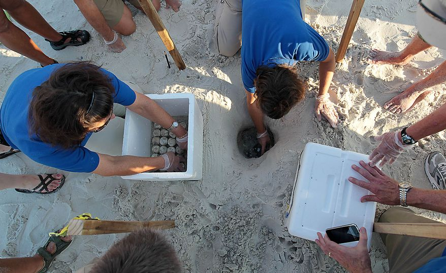 Researchers and biologists harvest sea turtle eggs from the sand in Port St. Joe, Fla.,  Friday, July 9, 2010.  U.S. Fish and Wildlife and other authorities are relocating thousands of sea turtle eggs to a warehouse on the East coast of Florida in an effort to save them from an oily death from the Deepwater Horizon incident. (AP Photo/Dave Martin)