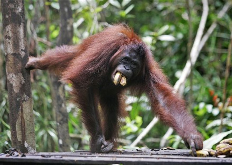 FILE - In this file photo taken on Saturday, Oct. 25, 2008, a female orangutan named Beki eats bananas at Tanjung Puting National Park on Borneo island, Indonesia.  When British naturalist Alfred Russel Wallace arrived in Borneo's jungles 150 years ago, one of his great hopes was to see orangutans. Even he was surprised at his success, spotting the red apes feeding along river banks, swinging between branches, and staring down from trees almost the moment he arrived.  (AP Photo/Irwin Fedriansyah, File)