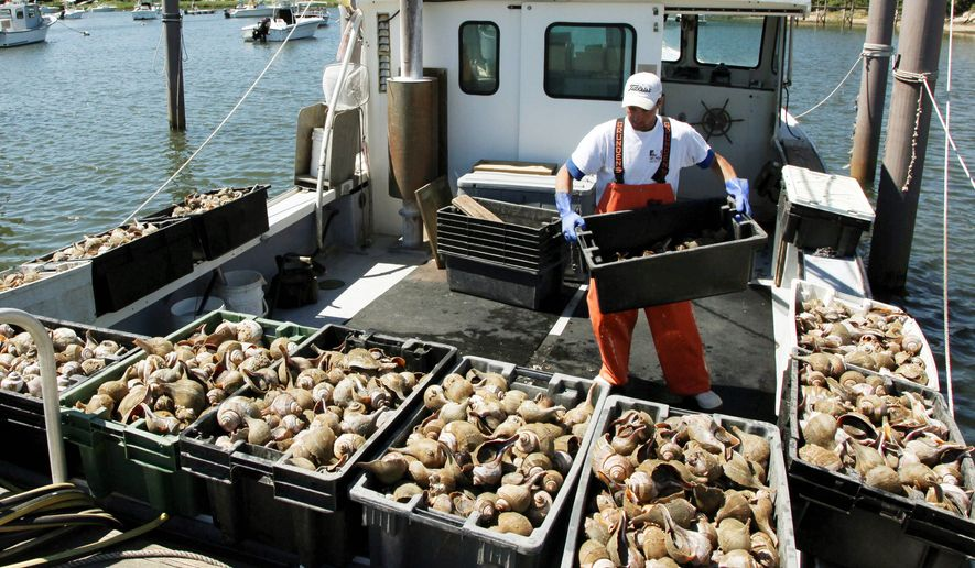 Yuliyan Bodurov is working this summer in Wychmere Harbor, where he unloads containers of conch on the Peggy B. Fishermen faced with low catch limits are starting to sell out to larger interests. (Associated Press)