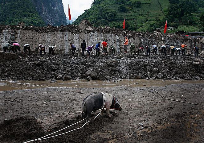 A pig stand on the mud while people work on a landslide hit in Gongshan county, in southwest China's Yunnan province, Thursday, Aug. 19, 2010. Rescuers dug through the debris of China's latest landslide Thursday in a search for at least 90 people thought buried when a wall of mud crashed into their mountain town in southwestern China. (AP Photo)