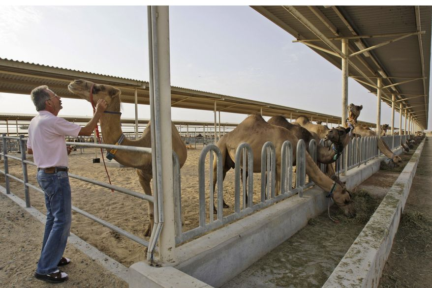 In this Tuesday, July 13, 2010, picture, Dr. Ulrich Wernery checks the health of a camel at the Camelicious farm in Dubai, United Arab Emirates. Camel milk has at least three times more vitamin C than a cow's and is considered an alternative for the lactose intolerant. Researchers, meanwhile, have studied possible roles in fighting bacteria, tumors and diabetes, as well as traditional uses such as a treatment for liver disease as part of folk medicine across the camels range from central Asia to North Africa. (AP Photo/Kamran Jebreili)