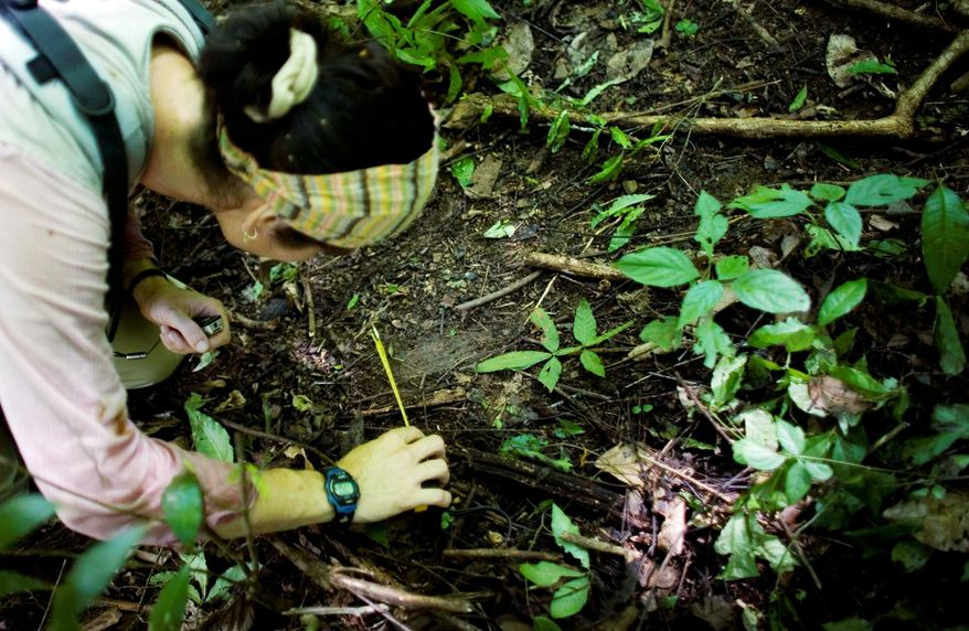 Ms. Isasi-Catala measures a track of a wildcat, possibly a jaguar, which have distinctive round toes. She is carrying out the first comprehensive study of the spotted cats of its kind in Venezuela. (Associated Press)