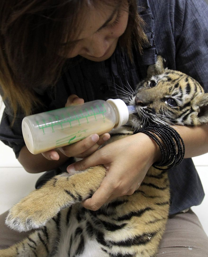 Thai veterinarian Phimchanok Srongmongkul feeds a baby tiger cub at the Wildlife Health Unit at the Department of National Parks in Bngkok, Thailand, on Friday, Aug. 27, 2010. Thai authorities found the baby tiger cub that had been drugged and hidden among stuffed toy tigers in the suitcase of a woman flying from Bangkok to Iran, an official and a wildlife protection group said Friday.(AP Photo/Sakchai Lalit)