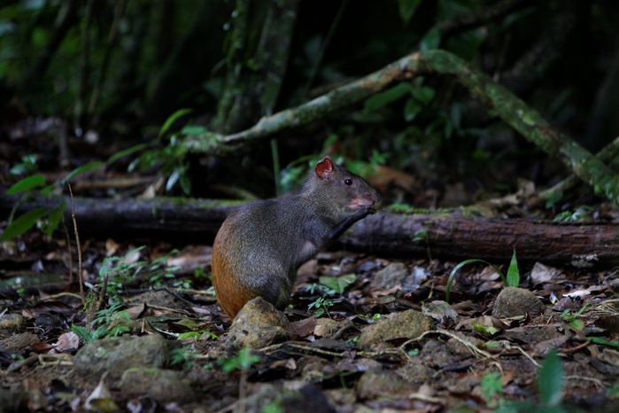 An agouti rodent eats around roots and trees in Brownsberg Nature Park, about 80 miles south of Paramaribo, Suriname. Miners are tearing up trees, poisoning creeks with mercury and, in some places, erecting makeshift jungle towns with shops, prostitutes and churches. In their wake is a wasteland, said a regional representative of the World Wildlife Fund. (Associated Press)