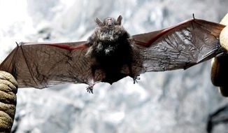 FILE - In this Jan. 27, 2009 file photo, a radio transmitter is inserted into a little brown bat in an abandoned mine in Rosendale, N.Y.  Scientists have taken a key step toward fighting a disease that is killing the nation's bats, finding several drugs that show promise for treatment and antiseptics that may help decontaminate areas where bats live or the people who visit them.  (AP Photo/Mike Groll, File)