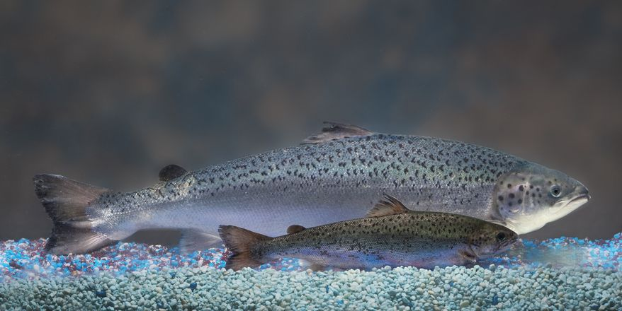 This undated handout photo provided by AquaBounty Technologies shows two same-age salmon, a genetically modified salmon, rear, and a non-genetically modified salmon, foreground. The Food and Drug Administration pondered Monday whether to say, for the first time, that it's OK to market a genetically engineered animal as safe for people to eat. (AP Photo/AquaBounty Technologies)