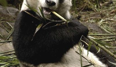 FILE - In this March 15, 2004 file photo, released by China's Xinhua News Agency, Hua Mei, an American-born giant panda, eats bamboo at the Wolong Nature Reserve in Chengdu, southwest China's Sichuan Province. Hua Mei gave birth to her eighth cub on Friday, Sept. 17, 2010, in southwest China, a rare accomplishment for the endangered species known for being poor breeders. (AP Photo/Xinhua,Chen Xie, File)