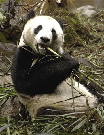 FILE - In this March 15, 2004 file photo, released by China's Xinhua News Agency, Hua Mei, an American-born giant panda, eats bamboo at the Wolong Nature Reserve in Chengdu, southwest China's Sichuan Province. Hua Mei gave birth to her eighth cub on Friday, Sept. 17, 2010, in southwest China, a rare accomplishment for the en