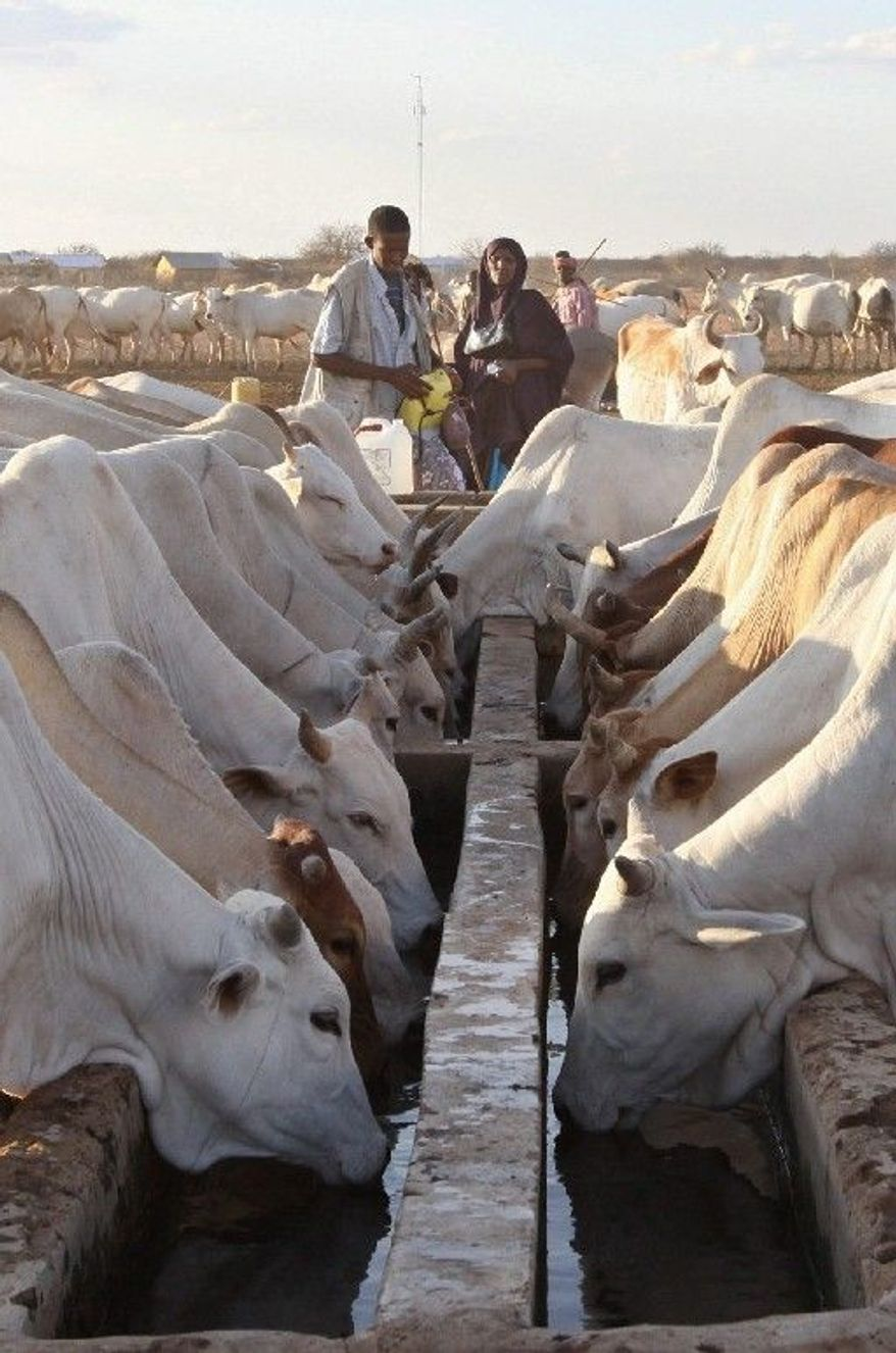 Cattle drink from a borehole trough in Dertu. As one of 14 Millennium Villages, Dertu also has a cell tower and has seen improvements in health care and education though some goals are unrealized. (Associated Press)