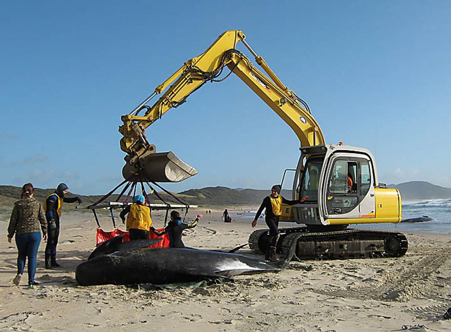 In this photo released by the New Zealand Department of Conservation, dead whales are removed from the beach at Spirits Bay in the North Island of New Zealand, Wednesday, Sept. 22, 2010. At least 40 out of 80 pilot whales that stranded themselves on the remote northern New Zealand beach have died, and more whales are joining them on land.(AP Photo/New Zealand Department of Conservation)