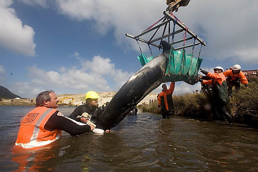 A whale is transported from the beach to a nearby stream where it can rest while it is decided how it will be released at Spirits Bay in the Far North, New Zealand, Thursday, Sept. 23, 2010. Only 24 of several dozen pilot whales stranded on the remote northern New Zealand beach survived a stormy first night ashore despite rescuers' desperate efforts to save them.(AP Photo/Richard Robinson)