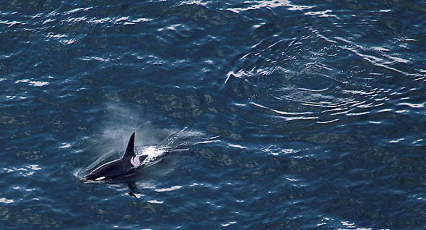 """A killer whale is seen from the air aboard the Zeppelin airship """"Eureka,"""" near San Juan Island, Wash., Wednesday, Sept. 8, 2010. (AP Photo/Ted S. Warren)"""