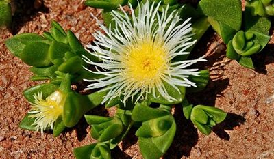 This photo supplied by Halls, Gericke and Hofmeyr (HGH) Pharmaceuticals and taken on Sept. 18, 2009 shows crops of the indigenous plant, sceletium tortuosum, being tended to in the Karoo in South Africa. The plant, that the San people, (sometimes called bushmen) have chewed to reduce stress, relieve hunger, sedate and elevate moods is to be marketed internationally. (AP Photo/Nigel Gericke HGH Pahrmaceuticals - HO)