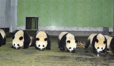 In this Monday, Oct. 25, 2010 photo, six pandas selected for display at the upcoming Asian Games eat a meal at the Wolong China Pandas Protection and Research Center at Bifengxia base in Ya'an in southwestern China's Sichuan province. China's panda population is booming this year thanks to a record number of births in captivity, a rare accomplishment for the endangered species known for being poor breeders. (AP Photo)