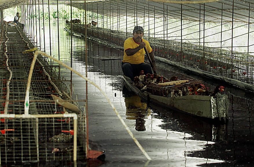 """A worker rescues chickens from a flooded chicken farm in Palmira, southern Colombia, Tuesday, Nov. 30, 2010. According to meteorologists the """"La Nina"""" climatic phenomenon is causing an exceptionally wet rainy season that has caused floods and landslides, killing over 130 people throughout Colombia. (AP Photo/Christian Escobar Mora)"""