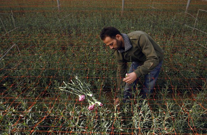 Palestinian worker Ahmad Hejazi collects carnations for export at a green house in Rafah, southern Gaza Strip, on Wednesday, Dec. 8, 2010. Israel has announced it will allow increased exports from the Gaza Strip, further easing its blockade of the Hamas-run territory. Israel's Security Cabinet approved the move on Wednesday. (AP Photo/Eyad Baba)