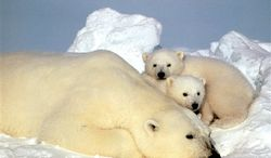FILE - In this undated file photo, a polar bear is shown in the Arctic National Wildlife Refuge in Alaska.  If the world dramatically changes its steadily increasing emissions of greenhouse gases, global warming can be slowed enough to prevent a total loss of critical summer sea ice for the polar bears, according to a new study in the journal Nature released Wednesday, Dec. 15, 2010. (AP Photo/Subhankar Banerjee, File)