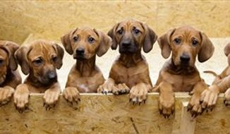 Nine Rhodesian Ridgeback puppies from a litter of 17,  look out of their box in Nauen, 50 kilometers  outside  Berlin on Monday, Dec. 20, 2010. On Sept 28, and 29, 4 years old Ridgeback Etana  had 17 puppies. All of them survived.  (AP Photo/Markus Schreiber)