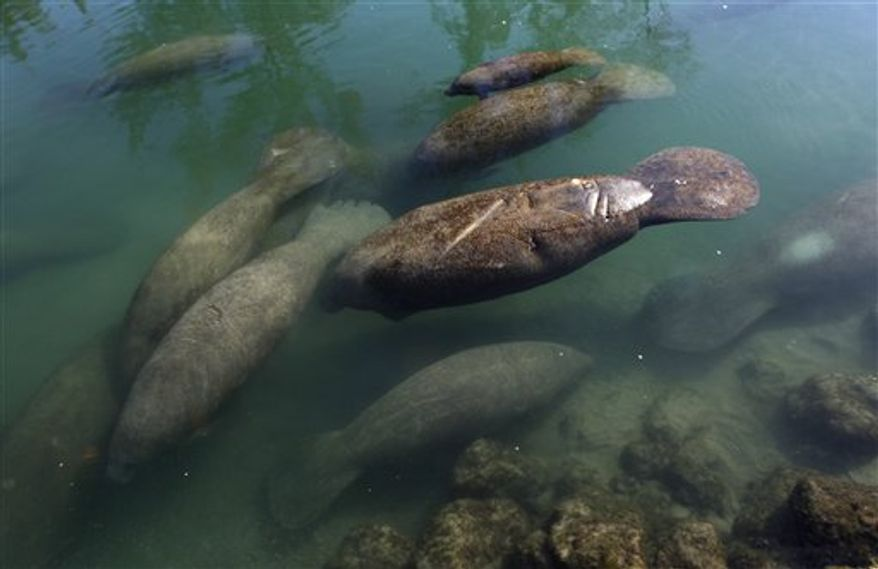 Manatees congregate in a canal where discharge from a nearby Florida Power & Light plant warms the water in Fort Lauderdale, Fla. Tuesday, Dec. 28, 2010. Overnight temperatures in South Florida were in the 30s.  (AP Photo/Lynne Sladky)