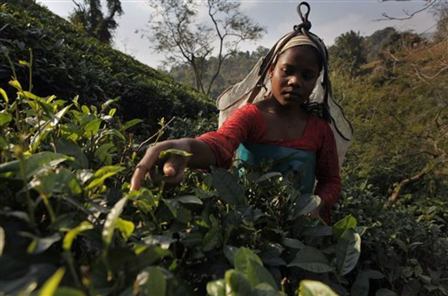 An Indian laborer plucks tea leaves at a tea garden in Amchong tea estate, about 45 kilometers (28 miles) east of Gauhati, India, Friday, Dec. 31, 2010. Tea growers in northeastern India say climate change has hurt the country's tea crop, leading not just to a drop in production but also subtly altering the flavor of their brew. (AP Photo/Anupam Nath)