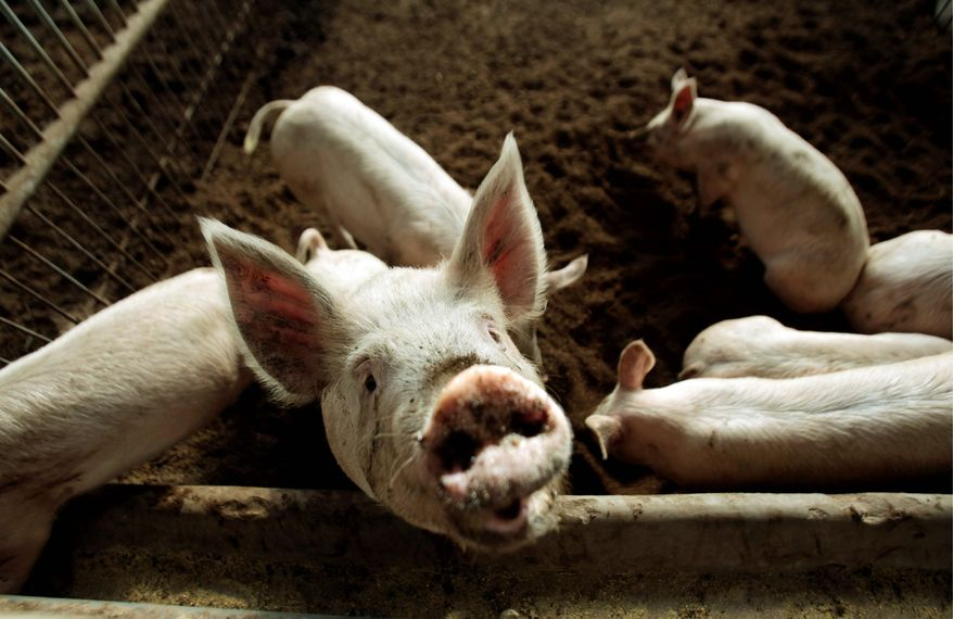 """Pigs enjoy relatively clean pens at the Little Donkey Farm, which claims to use no chemicals of any kind to raise or treat the pigs. Clenbuterol, known in China simply as """"lean meat powder,"""" is a dangerous drug that's banned in China's food supply. (Associated Press)"""