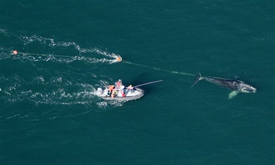 In this Dec. 2010 photo provided by the Florida Fish and Wildlife Conservation Commission, a North Atlantic right whale is seen entangled in rope off the coast of Daytona Beach, Fla. Researchers succeeded this month in using sedatives fired from a dart gun to calm down and free an endangered North Atlantic right whale tangled in fishing line.  (AP Photo/Florida Fish and Wildlife Conservation Commission)