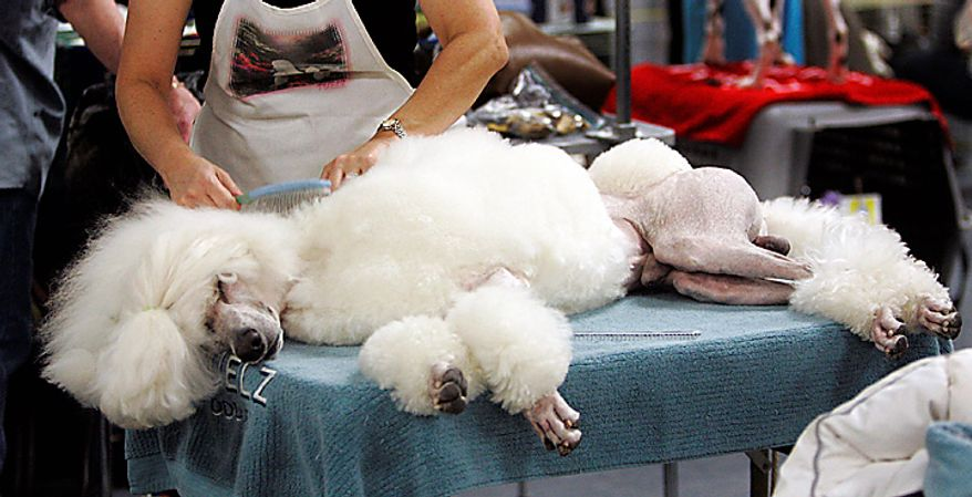 A poodle is groomed backstage during the first day of the Westminster Dog Show Monday, Feb. 14, 2011, at Madison Square Garden in New York. (AP Photo/Jeff Christensen)