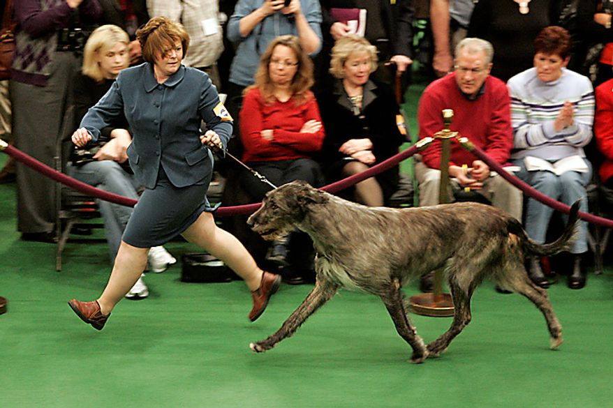 A Irish wolfhound is judged during the first day of the Westminster Dog Show Monday, Feb. 14, 2011, at Madison Square Garden in New York. (AP Photo/Jeff Christensen)