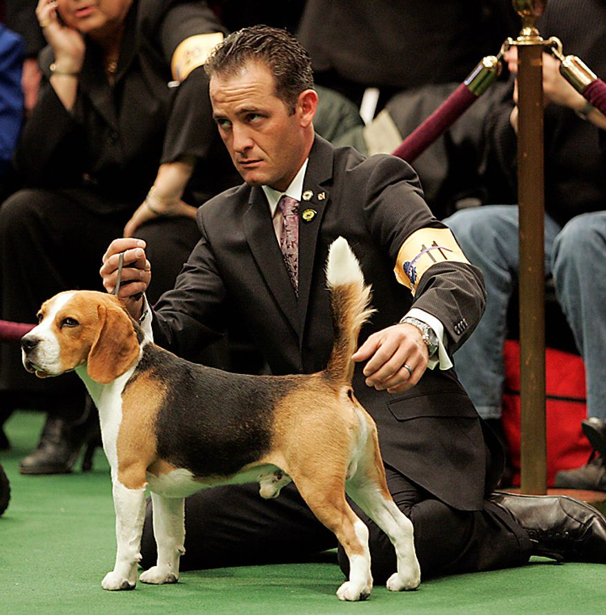 A Beagle waits to be judged during the first day of the Westminster Dog Show Monday, Feb. 14, 2011, in New York's Madison Square Garden. (AP Photo/Jeff Christensen)