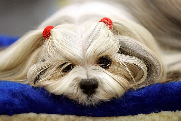 Penny from Heaven, a lhasa apso, waits to be judged during the first day of the Westminster Dog Show Monday, Feb. 14, 2011, at Madison Square Garden in New York. (AP Photo/Jeff Christensen)