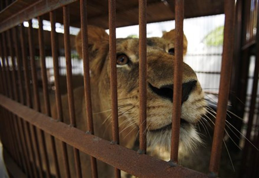 A lioness looks out of her cage at a provisory shelter in Santa Cruz de la Sierra, Bolivia, Tuesday Feb. 15, 2011. Twenty-five lions rescued in Bolivia from what animal welfare advocates say were miserable conditions, mostly in circuses, are bound for a wildlife refuge in Colorado on Wednesday. A law took effect in Bolivia in 2010 prohibiting all animal performances.  (AP Photo/Juan Karita)