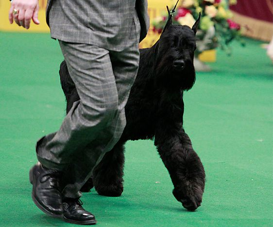 Eddie, a giant schnauzer, competes in the working group at the 135th Westminster Kennel Club Dog Show on Tuesday, Feb. 15, 2011, at Madison Square Garden in New York. (AP Photo/Frank Franklin II)