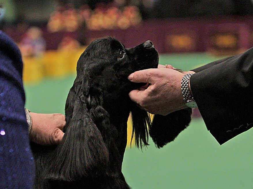A black cocker spaniel named Beckham is inspected by the judge before winning the sporting group at the 135th Westminster Kennel Club Dog Show on Tuesday, Feb. 15, 2011, at Madison Square Garden in New York.  (AP Photo/Mary Altaffer)