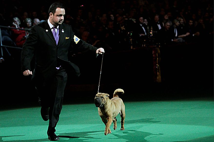 Chinese shar-pei Miss Jayne Hathaway competes in the ring during the 135th Westminster Kennel Club Dog Show on Tuesday, Feb. 15, 2011, at Madison Square Garden in New York. (AP Photo/Mary Altaffer)