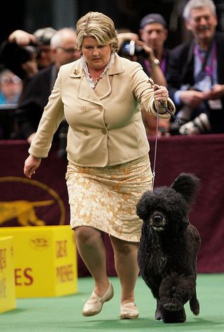 Ladybug, a Portuguese water dog, which is a member of the working group, competes in the ring during the 135th Westminster Kennel Club Dog Show on Tuesday, Feb. 15, 2011, at Madison Square Garden in New York. Ladybug won the working group. (AP Photo/Frank Franklin II)
