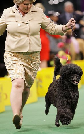 Ladybug, a Portuguese water dog, competes in the ring during the 135th Westminster Kennel Club Dog Show on Tuesday, Feb. 15, 2011, at Madison Square Garden in New York. Ladybug won the working group. (AP Photo/Frank