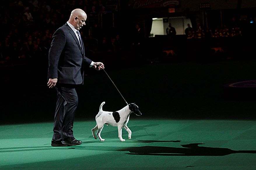 Smooth-coat fox terrier Adam competes for best in show during the 135th Westminster Kennel Club Dog Show on Tuesday, Feb. 15, 2011, at Madison Square Garden in New York. Hickory, a Scottish deerhound, won the title as best in show. (AP Photo/Mary Altaffer)